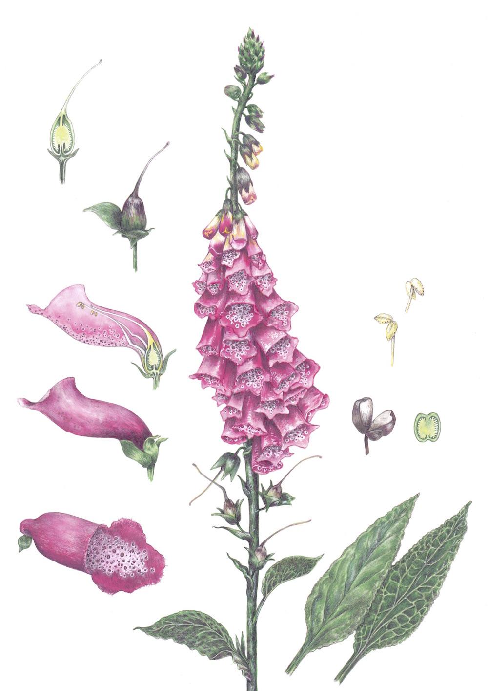 Dedaleira (Digitais purpurea). Ilustração: Elisabete Ferreira