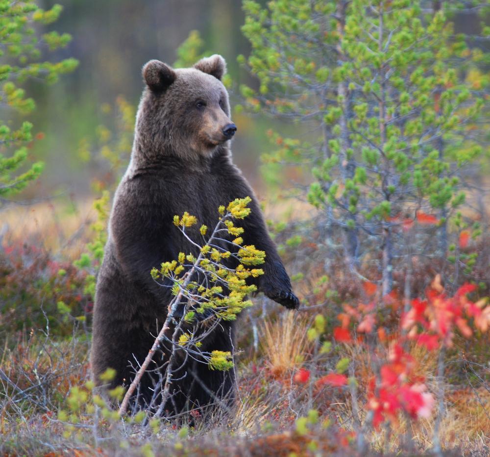 Urso de vigia. Apesar de se pensar que esta postura é um sinal prévio de agressão, este comportamento nada tem a ver com uma atitude agressiva
