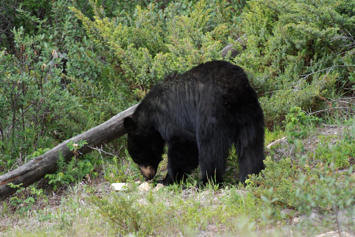Urso-preto nas Montanhas Rochosas (Canadá)