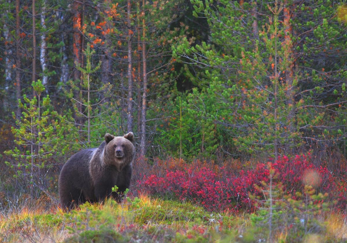 Urso-pardo na Finlândia, país onde se registaram 19 ataques nos últimos 60 anos