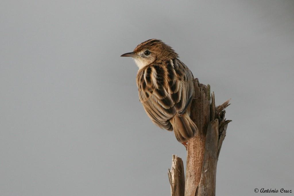 Fuinha-dos-juncos (Cisticola juncidis)