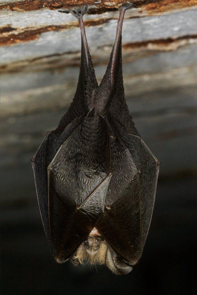 Morcego-de-ferradura-pequeno (Rhinolophus hipposide), em Castelo de Paiva