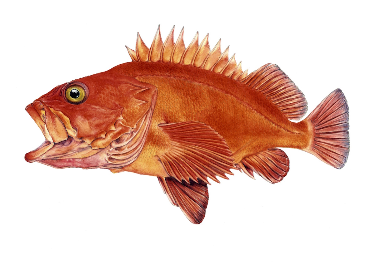 Peixe-vermelho (Sebastes norvegicus). Ilustração: Meritxell Campos Canudas
