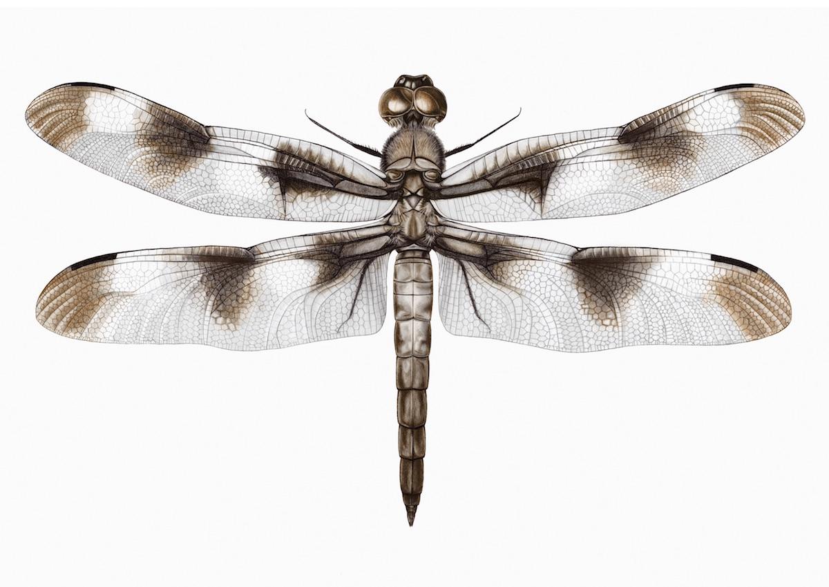 Libélula-de-doze-manchas (Libellula pulchella). Ilustração: Melissa Woodall