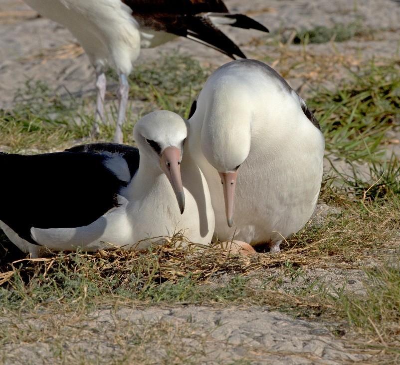 """Wisdom """"fala"""" para o seu ovo, pouco depois da postura, acompanhada pelo macho do casal (final de Novembro). Foto: Dan Clark / USFWS"""