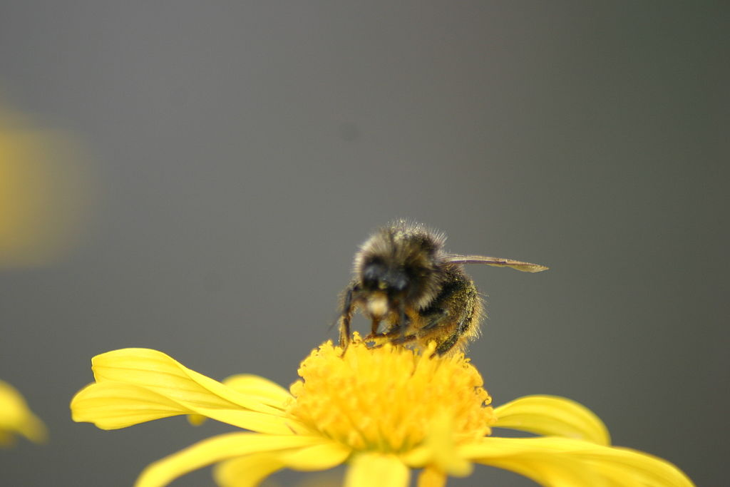 abelha europeia em cima de uma flor