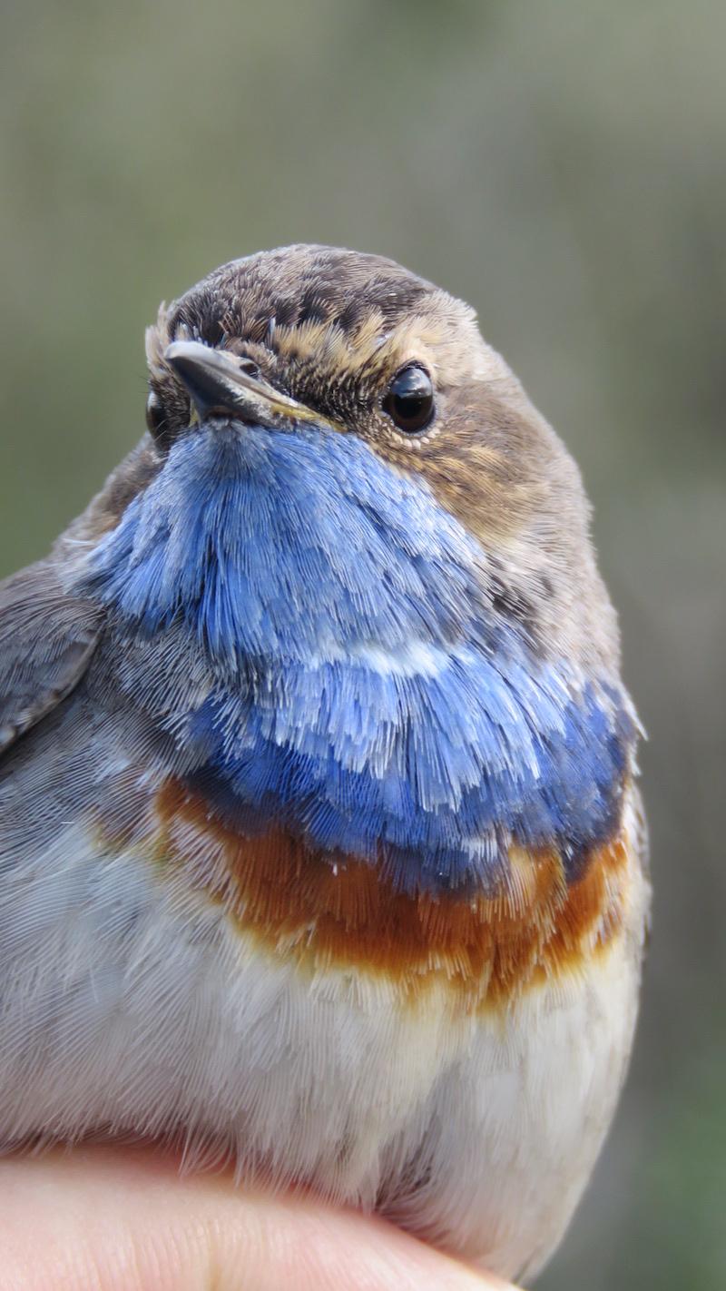 Pisco-de-peito-azul