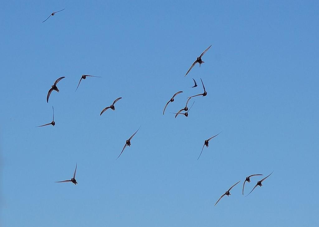 Andorinhões-pretos. Foto: Keta / Wiki Commons