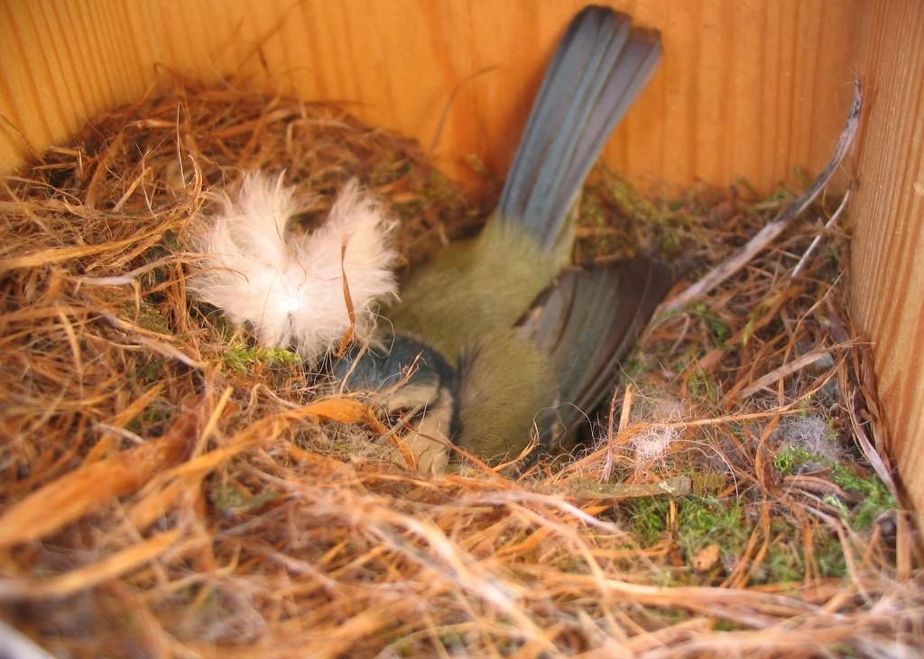 Chapim-azul numa das caixas-ninho de Monsanto, num ano anterior. Foto: Parque Florestal de Monsanto