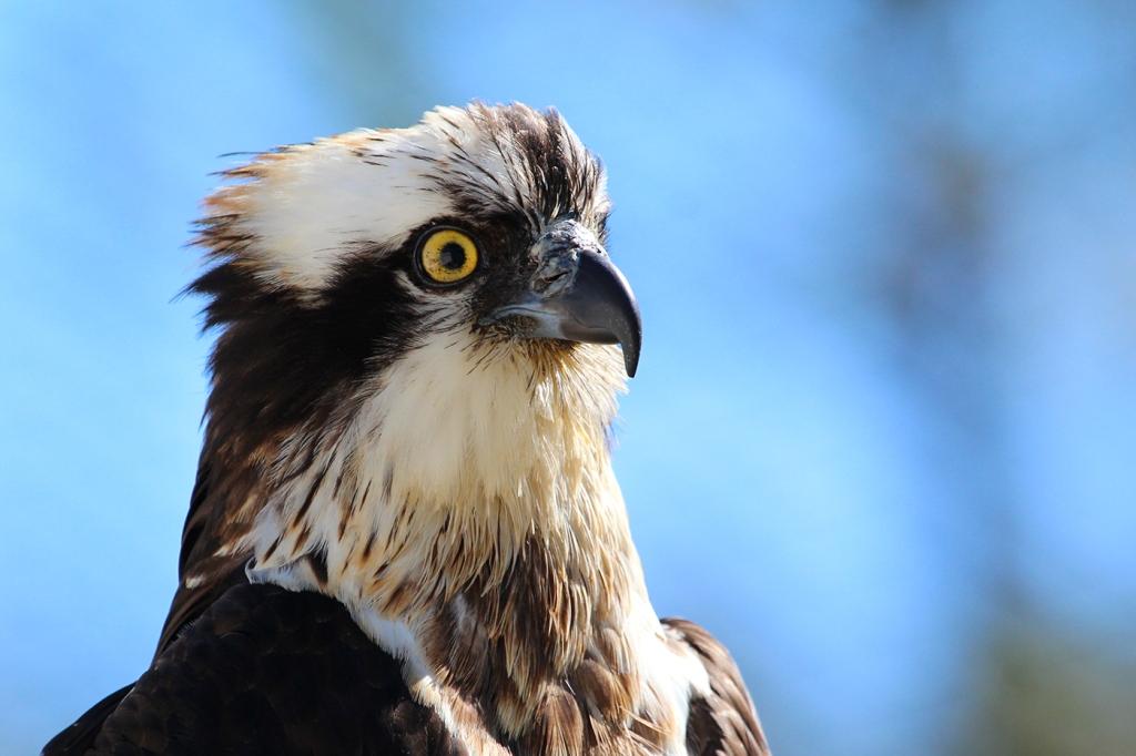 A águia, quando estava em recuperação. Foto: CERVAS