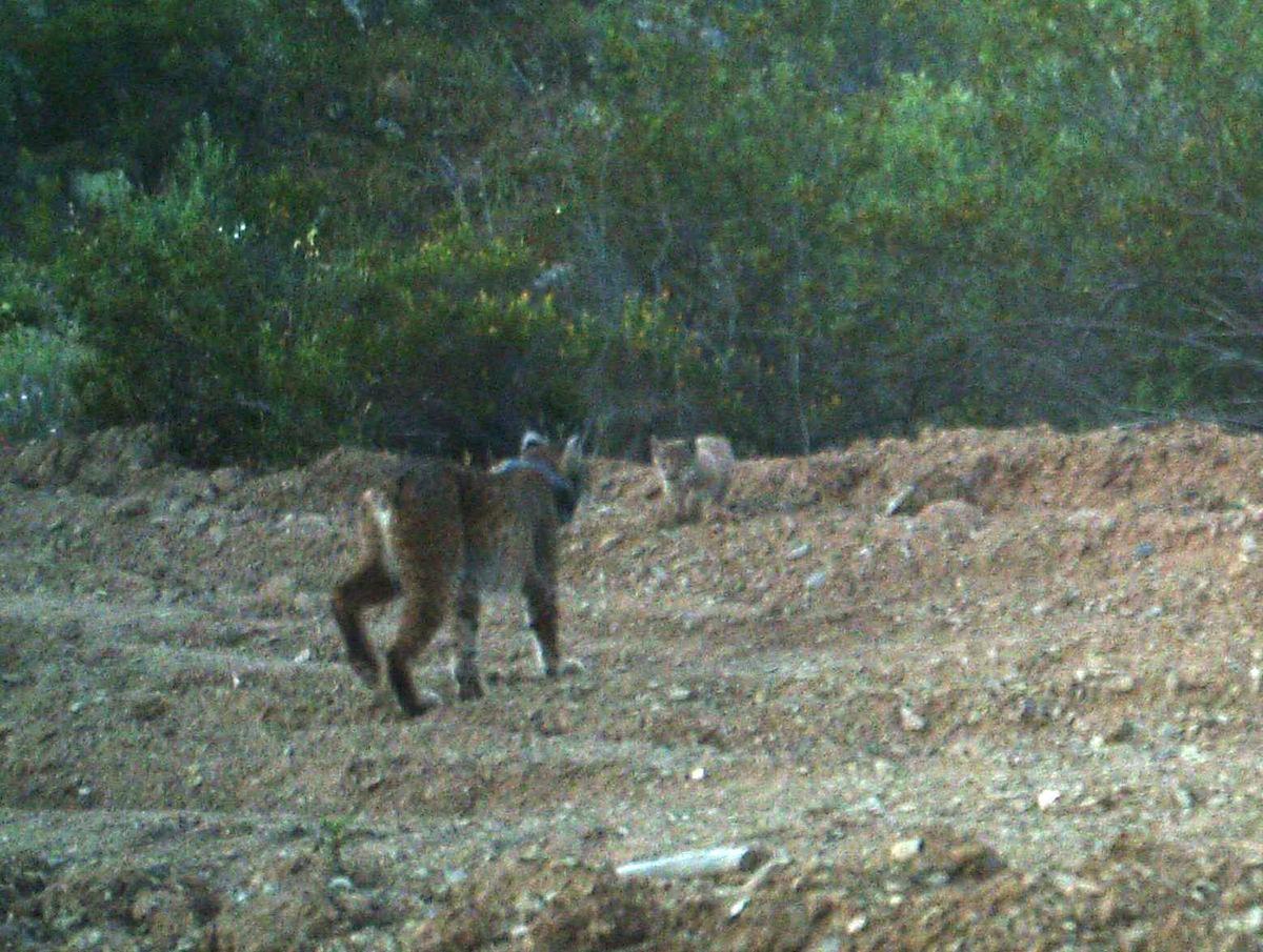 Jacarandá e a cria. Foto: ICNF