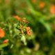 pequenas flores laranja num prado