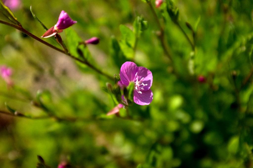 planta com flores roxas