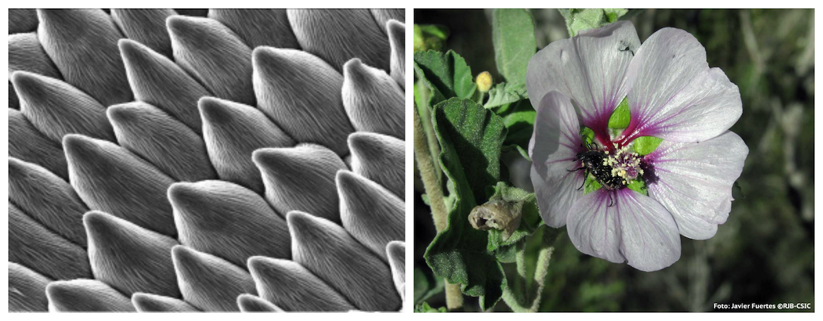 Células da superfície das pétalas quando a flor é polinizada por insectos. Foto: Javier Fuertes