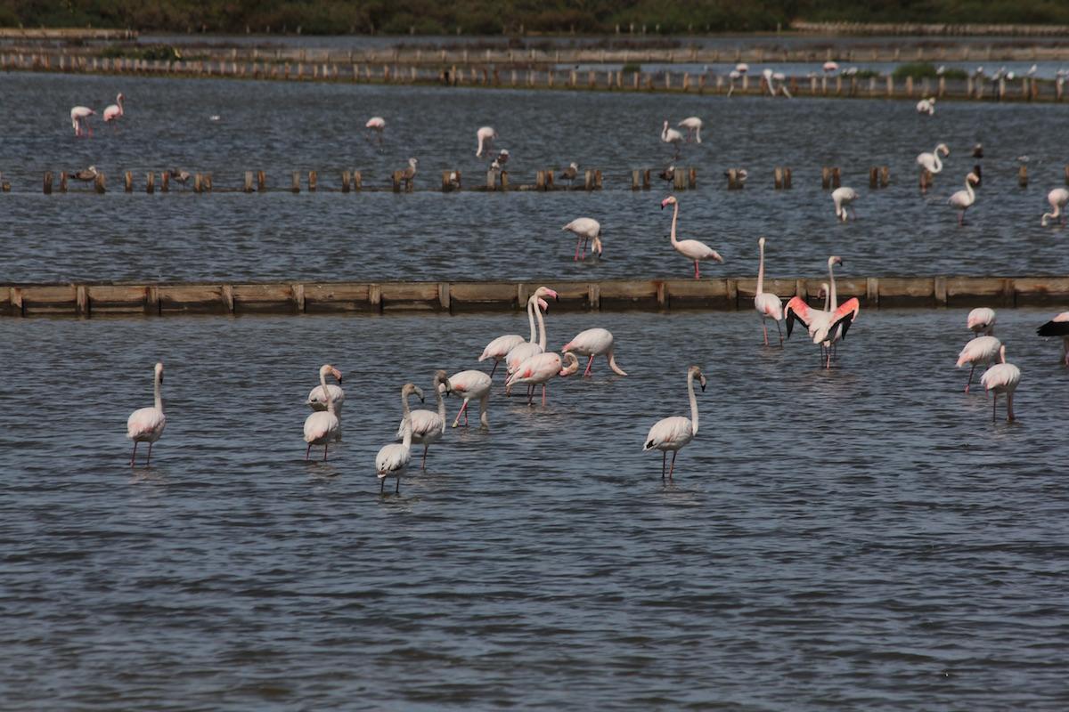 Flamingos no estuário