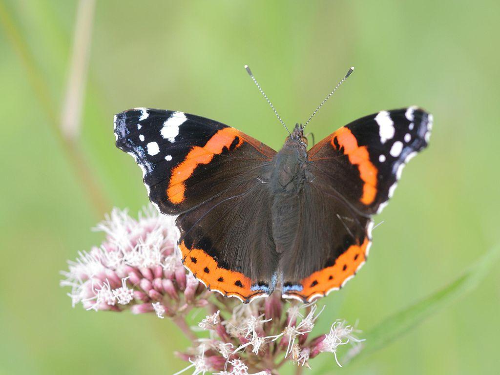 borboleta-de-asas-pretas-com-riscas-vermelhas-e-brancas-pousada-numa-flor