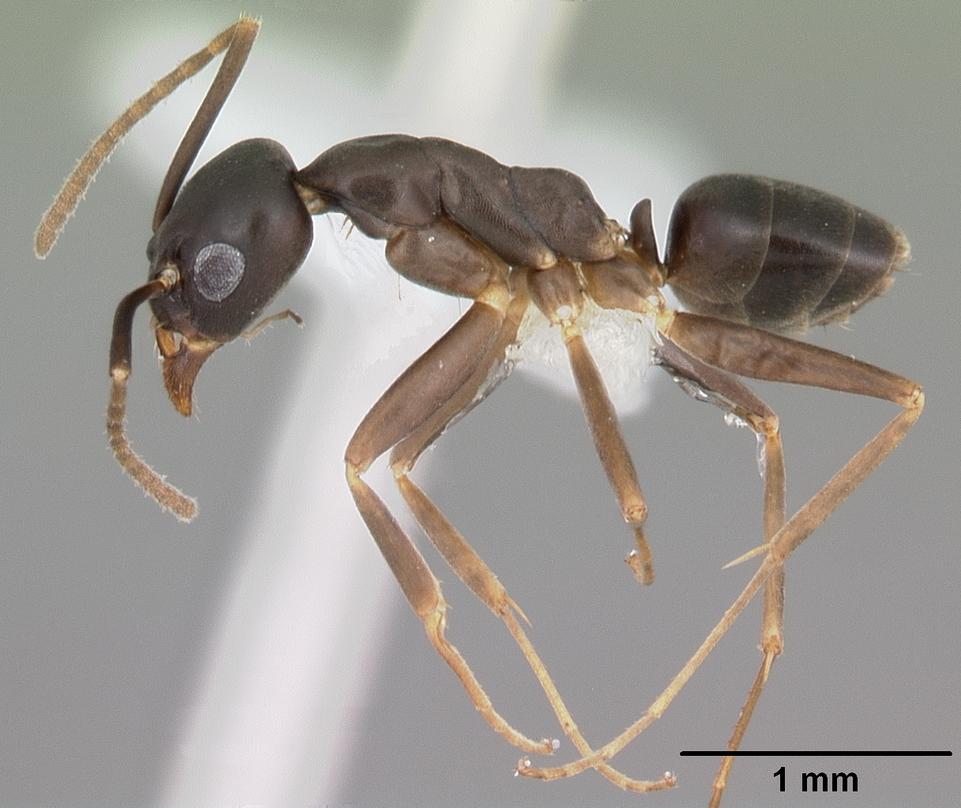Formiga da espécie Gracilidris pombero. Foto: April Nobile / AntWeb.org