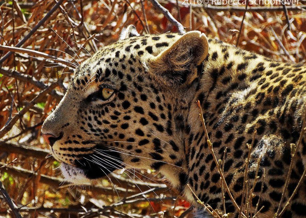 Um leopardo faz uma pausa no Parque Nacional de Pilanesberg, na África do Sul, enquanto se prepara para caçar. Foto: Rebecca Schoonover
