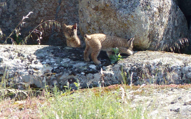 Foto: Programa de Conservação Ex-Situ do Lince-Ibérico