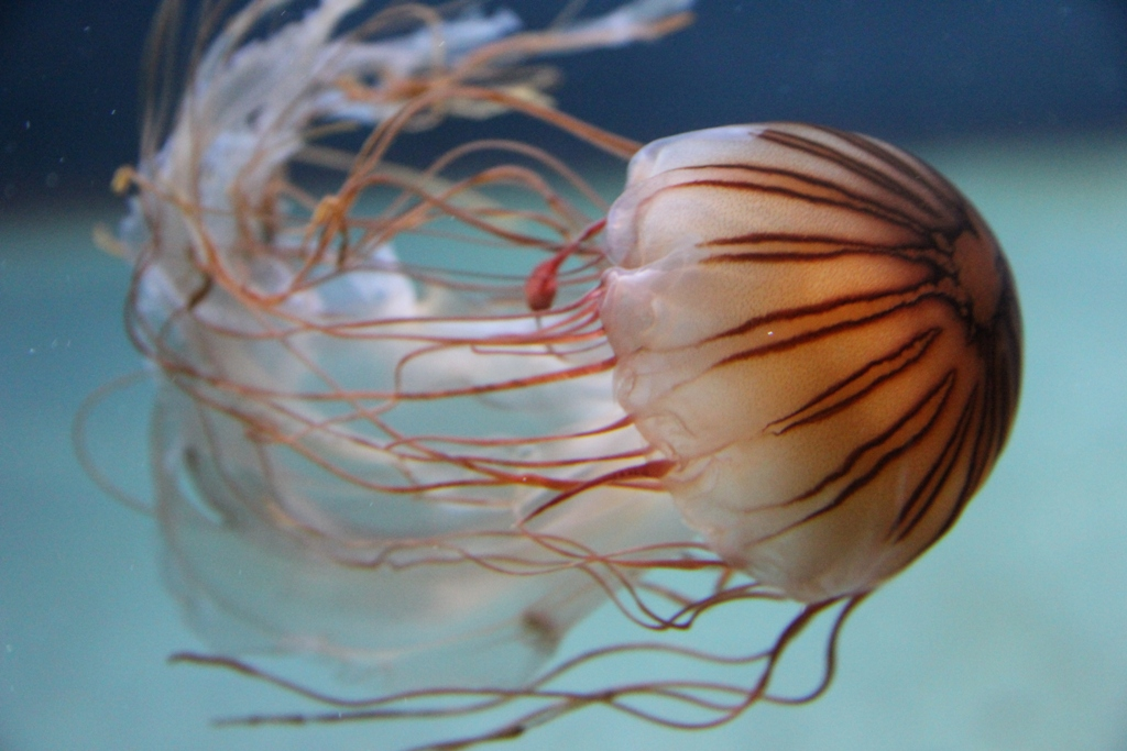 Chrysaora sp, muito urticante mas rara na costa portuguesa. Foto: Juliatyutereva