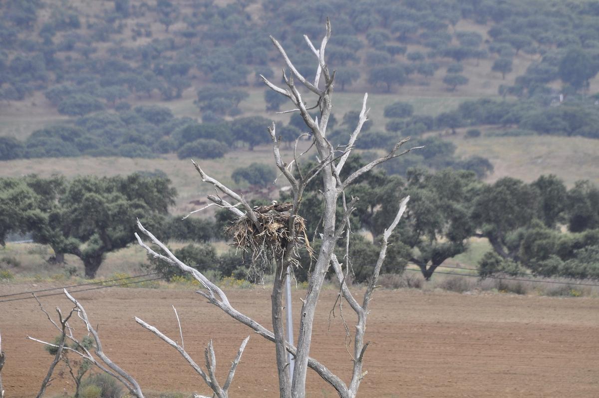 O ninho foi construído em cima de uma árvore no meio da albufeira. Foto: Jorge Safara/Projecto Reintrodução Águia Pesqueira em Portugal
