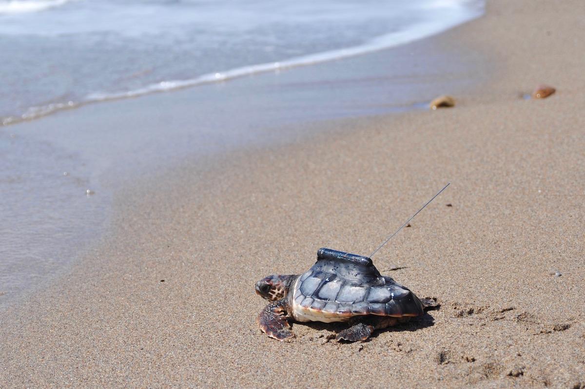 Tartaruga com dispositivo GPS. Foto: Comunicação CSIC
