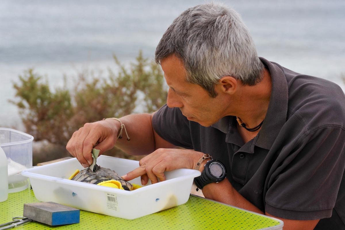 Investigador prepara uma das tartarugas para lhe colocar o localizador antes de libertá-la. Foto: Comunicação CSIC
