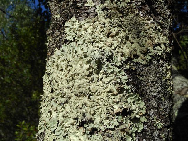 Líquene foliáceo - Parmelia verde (Flavoparmelia caperata) Foto: Margarida Marques