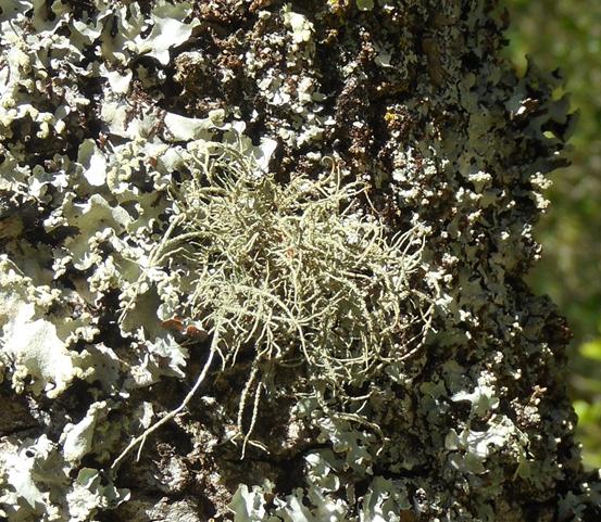 Líquene fruticuloso -Evernia (Evernia Prunasti) Foto: Margarida Marques