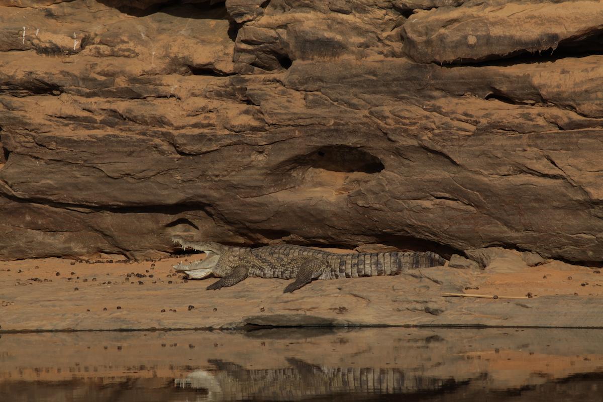 Investigação sobre crocodilos na Mauritânia