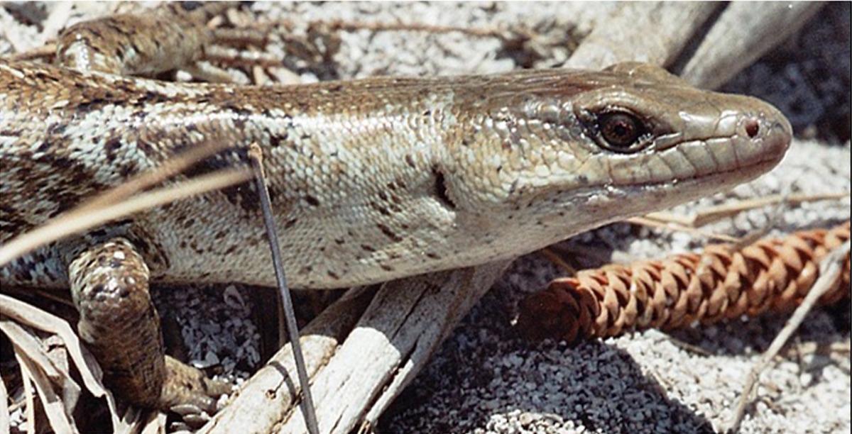Phoboscincus bocourti. Foto: Caut et al 2013