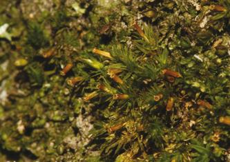 Musgo-capuz-vulgar (Orthotrichum tenellum) Foto: César Garcia