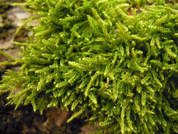 Musgo-trançado-comum (Hypnum cupressiforme) Foto: MUHNAC