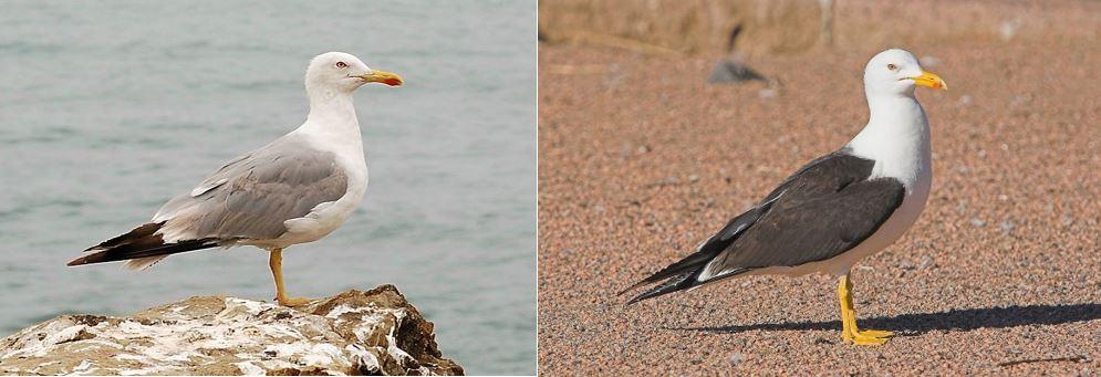 Gaivota-de-patas-amarelas (Larus michahellis) Foto: Alvesgaspar/Wiki Commons (à direita) Gaivota-de-asa-escura (Larus fuscus) Foto: Selkälokki/Wiki Commons (à esquerda)