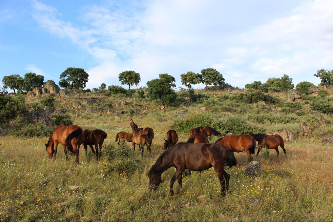 Manada de cavalos garranos em estado semi-selvagem Foto: ATN