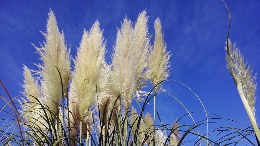 Flor da erva-das-pampas. Foto: Invasoras.pt