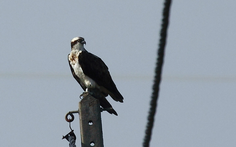 A águia-pesqueira, fotografada a 29 de Outubro na ilha da Morraceira. Foto: António Gonçalves