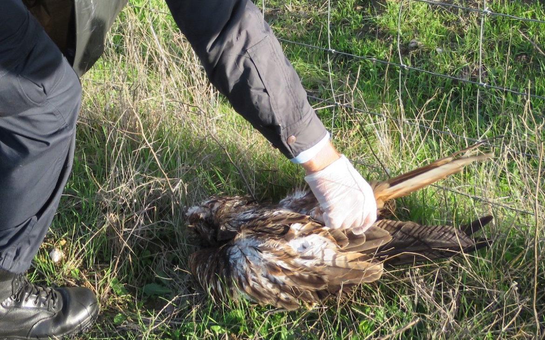 Cadáver de milhafre-real. Foto: LPN