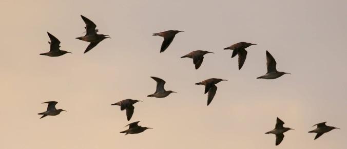 Um bando de maçaricos-galegos em voo. Foto: Tómas Gunarsson