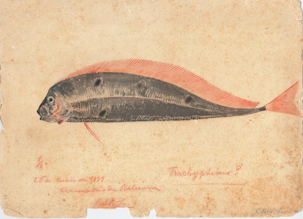 Illustration of a herring-king, by Carlos de Bragança. Library of the D. Carlos I Oceanographic Museum, Vasco da Gama Aquarium