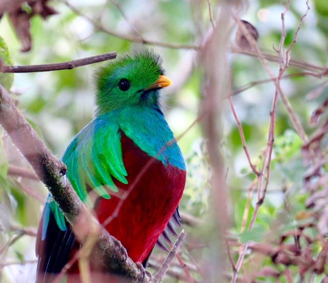 Quetzal-resplandecente. Foto: Arjan Dwarshuis