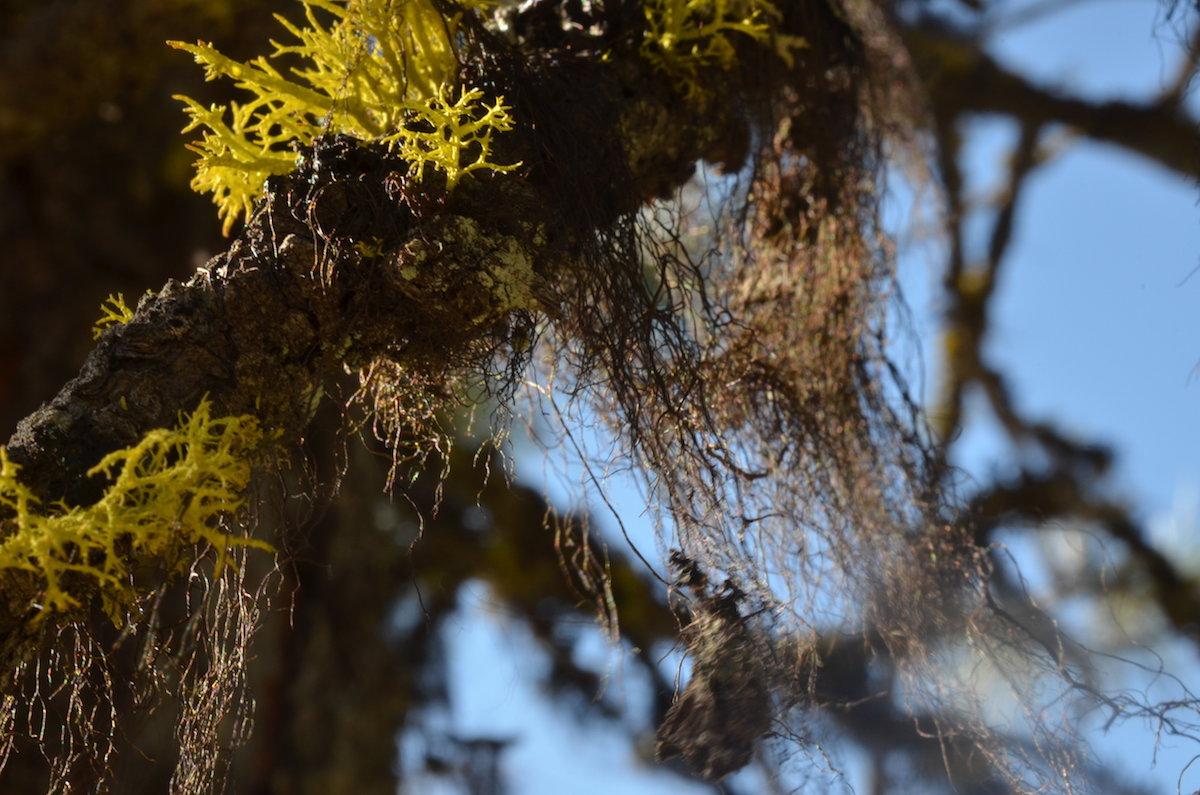 Letharia vulpina (amarelo), Bryoria sp. (castanho). Foto: Paula Matos