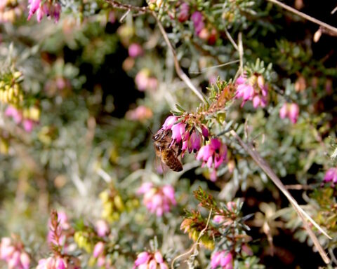 abelha pousada numa flor