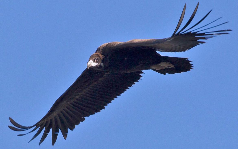 um abutre-preto a voar