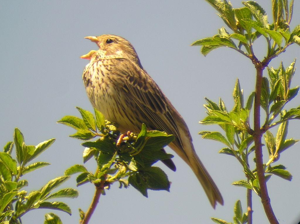 uma-ave-trigueirao-canta-pousada-num-ramo-com-folhas