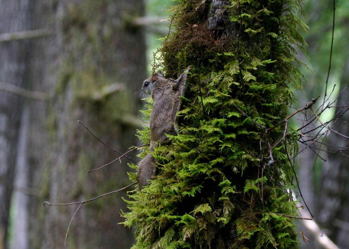 Esquilo-voador-de-Humboldt. Foto: Museu de História Natural e da Cultura de Burke