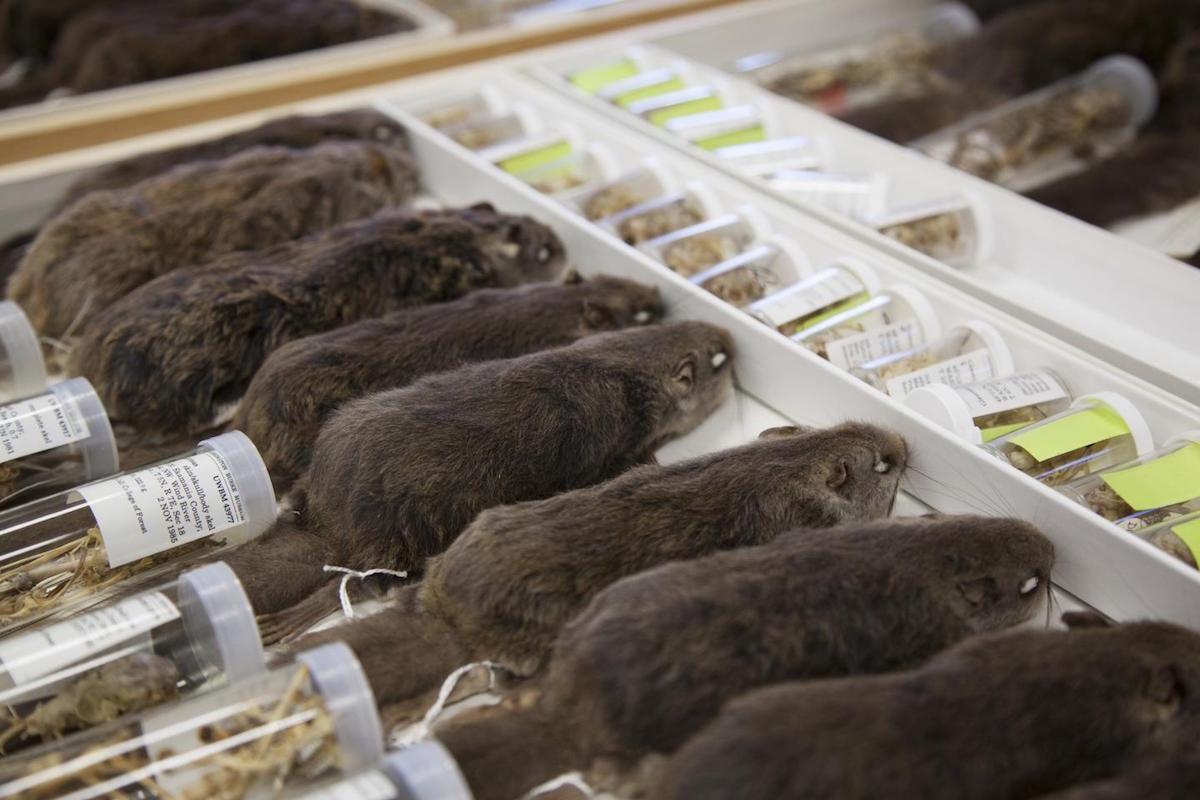 Espécimes de esquilos-voadores da colecção do Museu de Burke usadas para ajudar a identificar a nova espécie. Foto: Museu de História Natural e Cultura de Burke