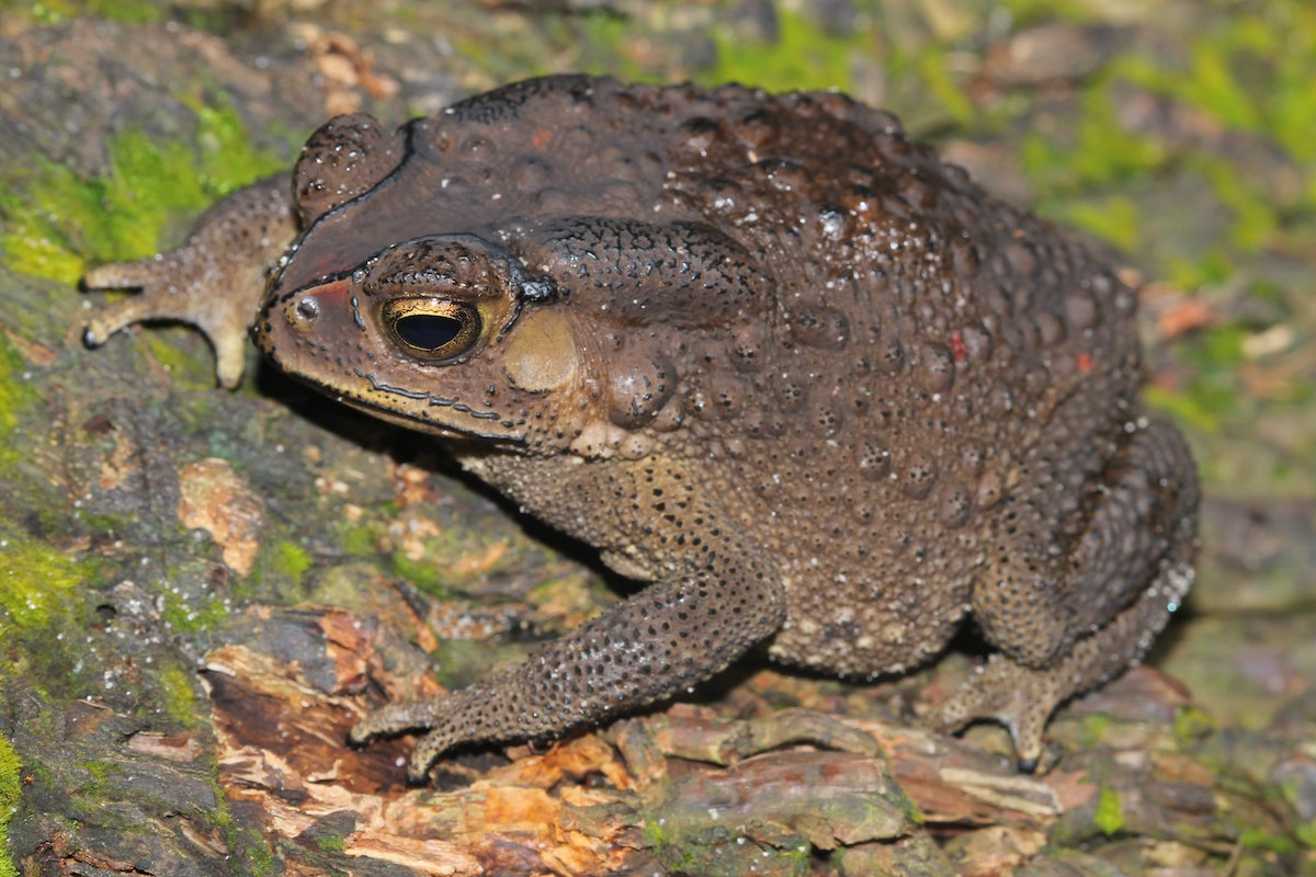 Sapo-comum-asiático (Duttaphrynus melanostictus). Foto: Franco Andreone