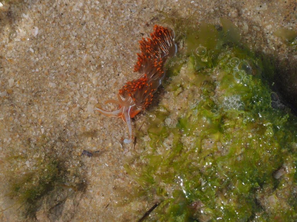 um-molusco-transparente-e-com-manchas-vermelhas-está-por-cima-da-areia-na-zona-entre-marés