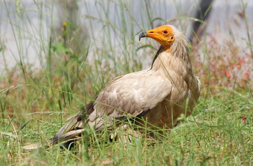 abutre-do-egito-observado-de-perfil